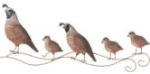 little quail